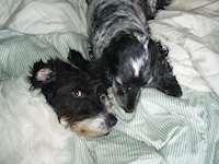 Två hundar i en säng.