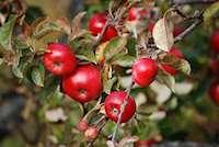 Äppelträd. Foto: Anna-Lina